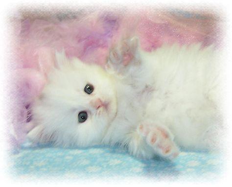 Baby Kittens For Free White Kitten Wallpapers Kitten Wallpaper