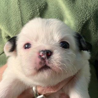 Adopt Angie On Animals Pugs Puppies