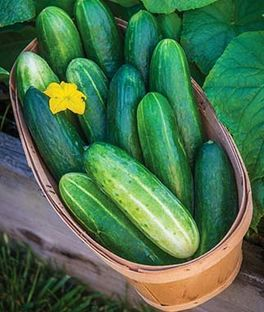 Cucumber Bragger Hybrid Vegetables Cucumber Cucumber Seeds