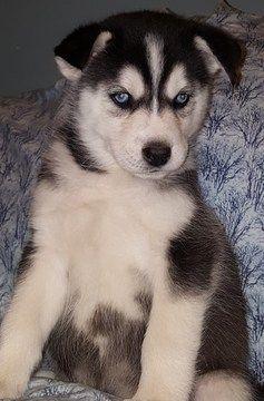 Litter Of 2 Siberian Husky Puppies For Sale In Bay City Mi Adn