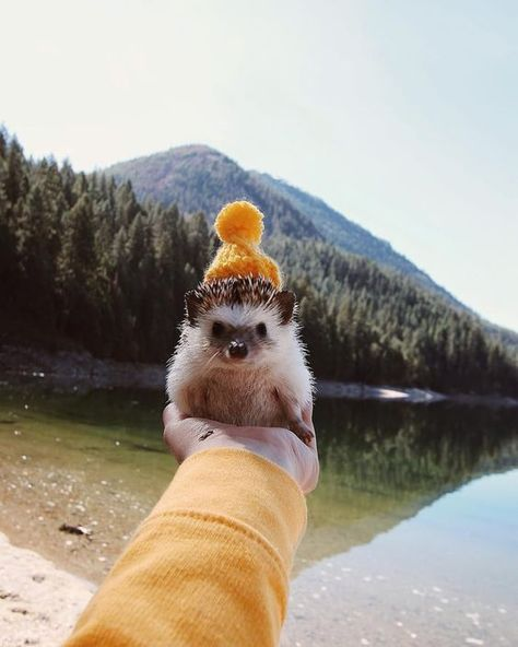 20 Cute #Hedgehog Pics: The Cutest Hedgehogs on the Internet