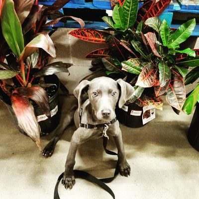 Positively Pups Professional Dog Trainer 214 766 4777 With