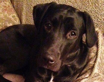 Adopt Boddy On Therapy Dogs Black Labrador Retriever Dogs