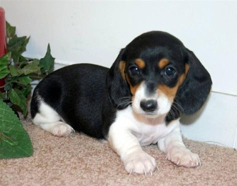 Mini Ature Dachshunds Contact Dachshund Breeders In Of