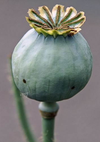 Opium Poppy Pods- fresh end of April to June dried during summer and fall