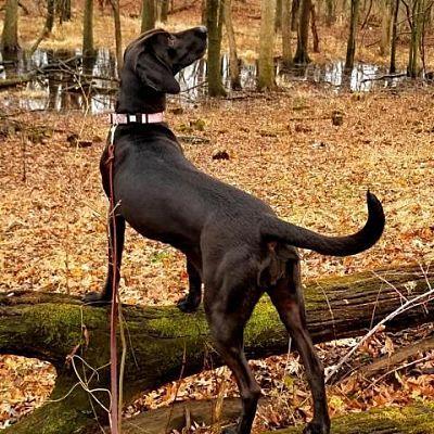 Chicago Heights Il Labrador Retriever Meet Pixie A Pet For Adoption With Images Labrador Retriever Pet Adoption Pets