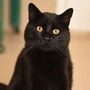 Male Domestic Short Hair Short Coat Named Eclipse Available For Adoption Animal Sanctuary I Love Cats Domestic Short Hair