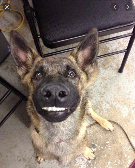 smiling dog - german shepherd saying cheese to camera #smilingdogs #happydogs #funnydogs #smilingdogphotos #smilinganimals