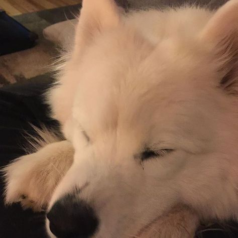 When mom is watching bachelor in paradise  #sammy #samoyed #samoyedsofinstagram...  When mom is watching bachelor in paradise  #sammy #samoyed #samoyedsofinstagram #samoyedsofig #samoyedsofinsta #samoyedsofminnesota #dog #dogsofinstagram #dogsofig #dogsofinsta #dogsofminnesota #furbaby #fluff #cloud #tuesday #tuesdaynight #bachelorinparadise