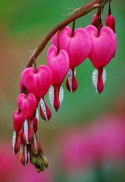 Bleeding Hearts Poisonous But If Fed To An Unsuspecting Man He Would Be Enslaved To The Woman Who Gave Bleeding Heart Flower Beautiful Flowers Unusual Flowers