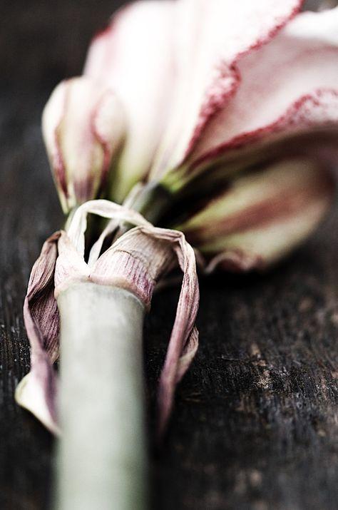 amaryllis photographed by lebenslustiger.com