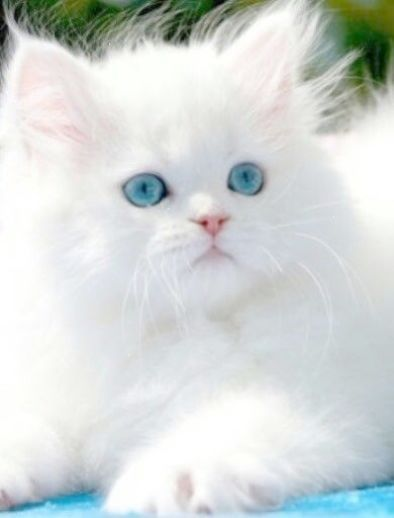 Cute White Kitty With Pretty Blue Eyes Gatos Bonitos Gatos