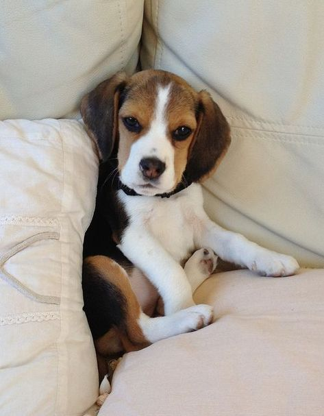 The Couch Is Eating Meeeee Beagle Puppy Cute Beagles Cute