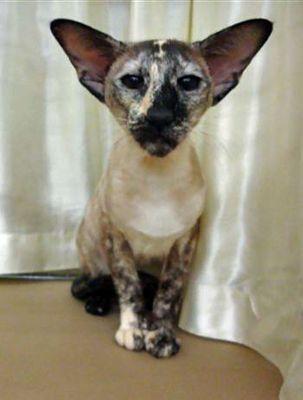 Seal Tortie Point Siamese Cat Just Like My Rosie Oriental Shorthair Cats Cat Breeds Burmese Cat