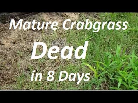 How To Get Rid Of Crab Grass In The Lawn Youtube Crab Grass Crab Grass Lawn Weeds In Lawn