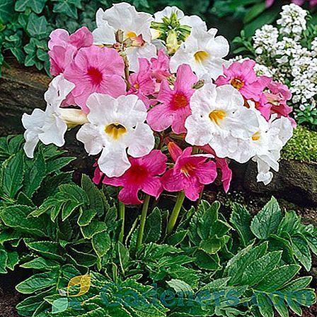 Inkerville Gloxinia Ogrodowa Odmiany I Osobliwosci Uprawy Plants