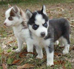 Miniature Husky Miniature Husky Husky Puppy Siberian Husky Puppies