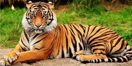 Pin De Garciela Fernandez En 2020 Tigre De Bengala Panthera Tigris Tigris Tigre Siberiano Blanco