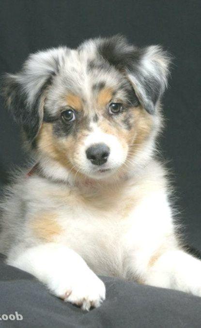 Australischer Schaferhund Welpe Puppies Aussie Dogs Shepherd Puppies