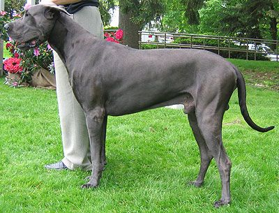 The 10 Most Dangerous Dog Breeds Great Dane Dogs Dog Breeds