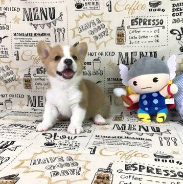 Pembroke Welsh Corgi Puppy For Sale In San Francisco Ca Usa Adn
