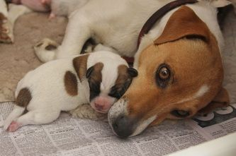 Welcome To Tobin Jack Russell Terriers Home In 2020 Jack Russell Dogs Jack Russell Jack Russell Terrier