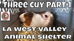 Pin On American Guinea Pig Breed