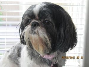 Becky Is An Adoptable Shih Tzu Dog In Langley Bc Becky Is A