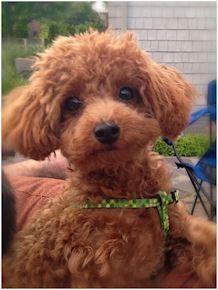 Michigan Red Toy Poodles Maltese