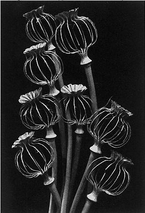 kvetchlandia: Rondal Partridge Eight Lantern Poppies Chalk it on black paper maybe?