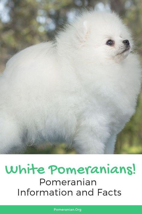 White Pomeranian Dogs White Pomeranian Pomeranian Pomeranian Dog