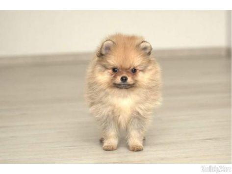 Rottweiler Puppies For Sale In Michigan Craigslist