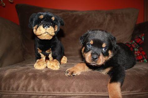 Rottweiler Pup Happy Rottweiler Rottweiler Puppies Bear Dog