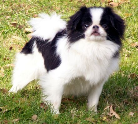 Japanese Chin Puppies Rescue With Images Japanese Chin