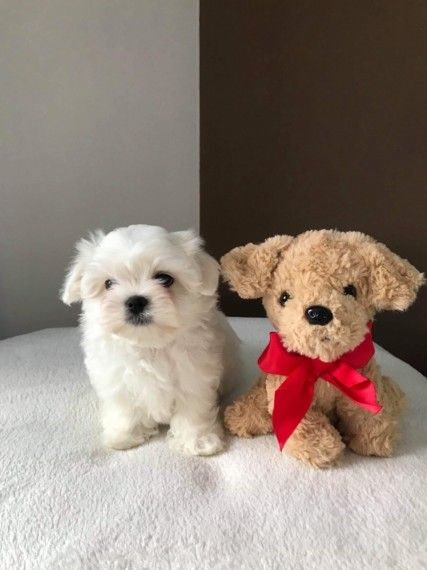 Pin On Puppies For Adoption