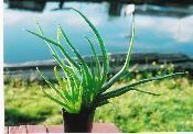 $11.50   True Aloe Vera  Medicinal Aloe Vera Aloe is a large family of succulent plants that are easy to grow.   Read more http://www.goodkarmaco.com/product.sc;jsessionid=24FF30CBD99D1D5E4EAD911262DE0421.qscstrfrnt04?productId=18=1