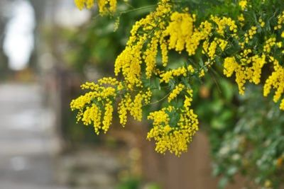Bailey Acacia Information How To Grow Bailey Acacia Trees In The Landscape Acacia Tree Acacia Plant Identification