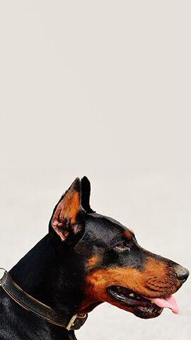 Get Iphone Backgrounds Uhd Wallpapers Dog Wallpaper Doberman Cute Puppy Videos Doberman dog hd wallpaper download