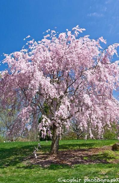 Let S Talk Cherry Trees Recent Information About Tart Or Sour Cherries Show That They Have Among The Highest Levels Of Cherry Tree Tree Tree Identification