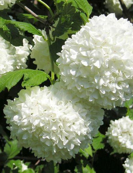 Kalina Koralowa Viburnum Opulus Viburnum Opulus Roseum Garden Shrubs