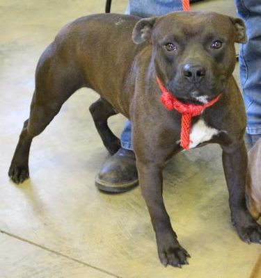 Cleveland Al American Pit Bull Terrier Meet Diesel A Dog For