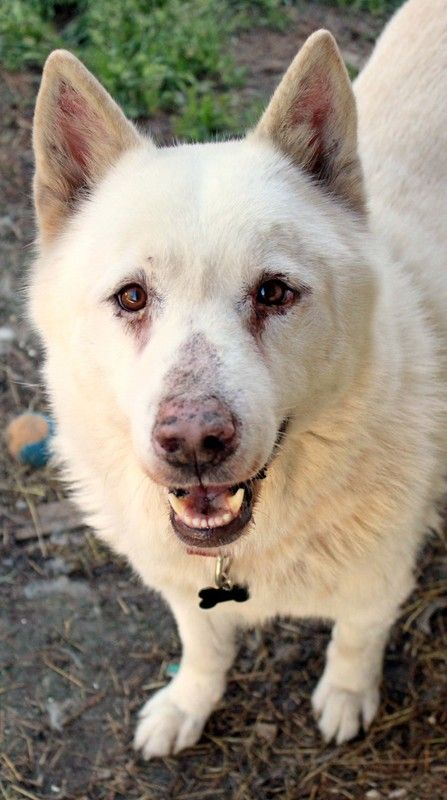 Apache Is A Male Dog Siberian Husky White German Shepherd Mix