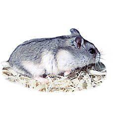 Male Russian Dwarf Hamster Dwarf Hamster Hamster Russian Dwarf