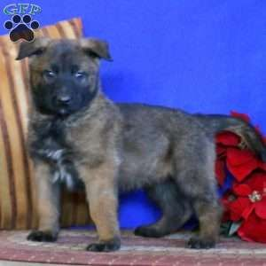 Belgian Malinois Puppies For Sale Greenfield Puppies In 2020 Malinois Puppies Belgian Malinois Puppies Malinois Puppies For Sale