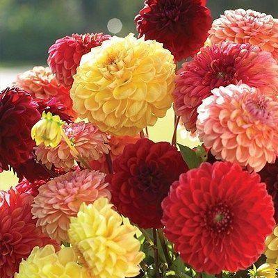 Dahlia Pompon Mix Flower Seeds Dahlia Variabilis 30 Seeds In 2020 With Images Flower Seeds Dahlia Flower Bulb Flowers