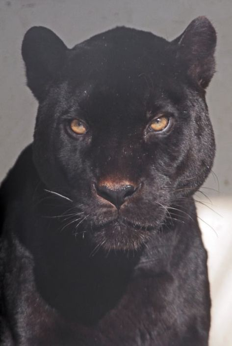 Black Panther up close Animals And Pets, Baby Animals, Cute Animals, Beautiful Creatures, Animals Beautiful, Aesthetic Pictures, Black Panther, Panther Leopard, Big Cats