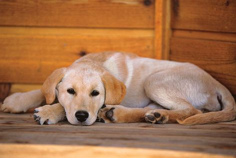 How To Train A Bird Dog In Your Living Room Working Dogs Dogs