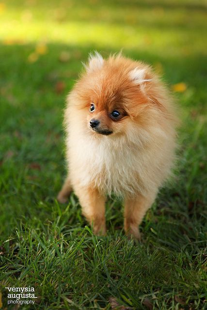 Pomeranian Not A Little Dog Admirer But These Guys Are Very Appealing Pomeranian Susse Tiere Zwergspitz Und Babytiere