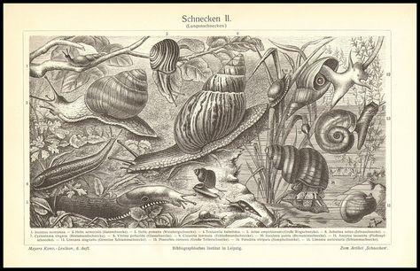 SNAILS & SLUGS Antique Print 1897 Land Snails Freshwater | Etsy