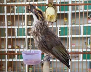Cara Merawat Cucak Rowo Siapa Yang Tidak Kenal Dengan Burung Cucak Rowo Yang Satu Ini Yang Dimana Keberadaan Habitat Dan Populasi Di Alam Liar Burung Habitat